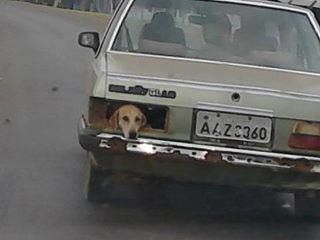cachorro-no-porta-malas